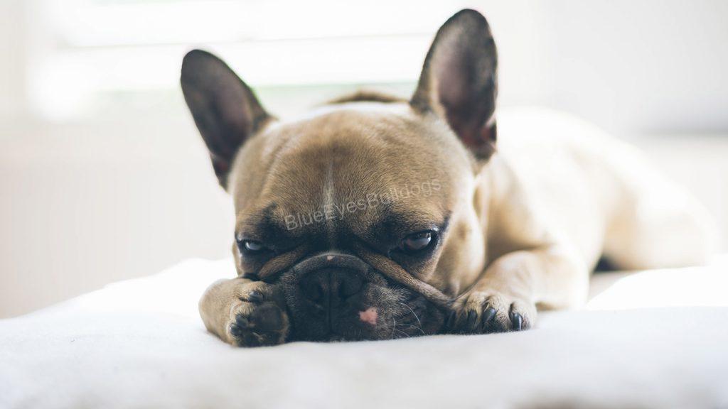 Ways to keep your French Bulldog Hygenic
