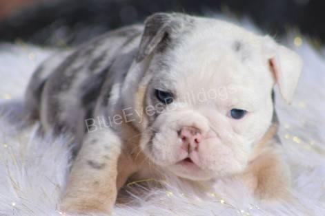 English Bulldog Puppies for sale in New York