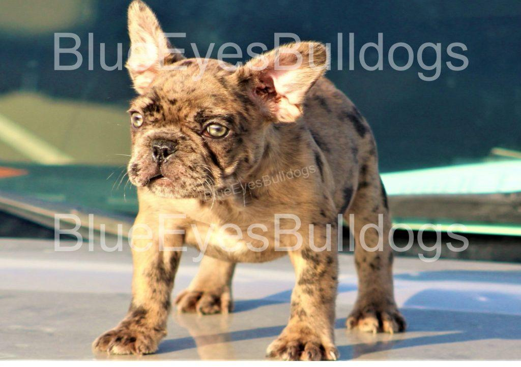 How Much Do French Bulldogs Cost?